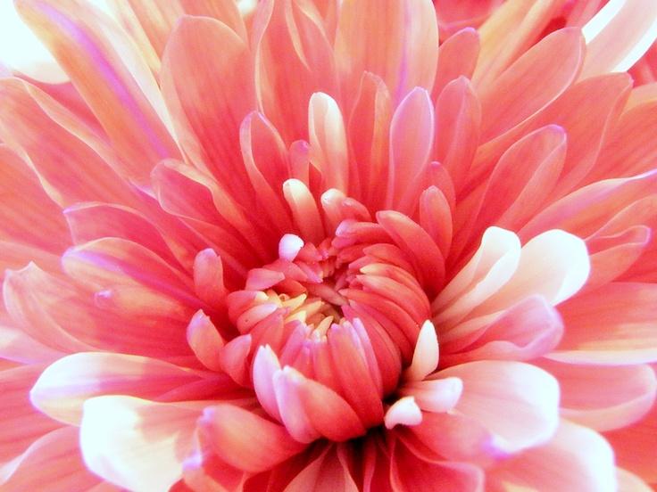 #pom #flowers #gardens