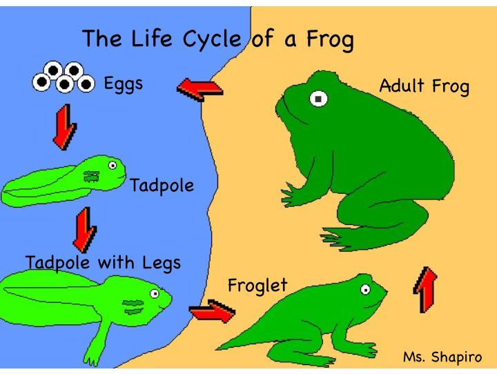 Primary Worksheet Life Cycle Frog | Frog Life | Decor ... - photo#14