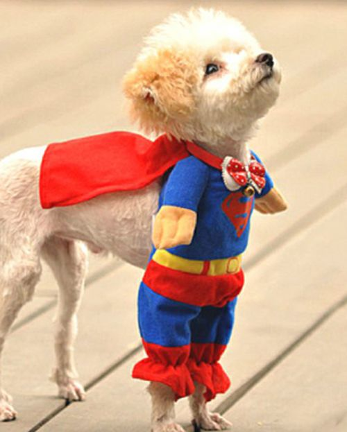 Superman to the rescue!   Head over to Miss Lilly's blog for Halloween safety tips for your pet:  http://www.misslillystradingcompany.com/blog/145