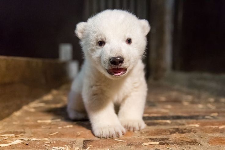 Tierpark Berlin's Polar Bear, Tonja, gave birth to an adorable male cub on November 3, 2016. Learn more and see more at ZooBorns: http://www.zooborns.com/zooborns/2017/01/tierpark-berlin-determines-sex-of-new-polar-bear.html