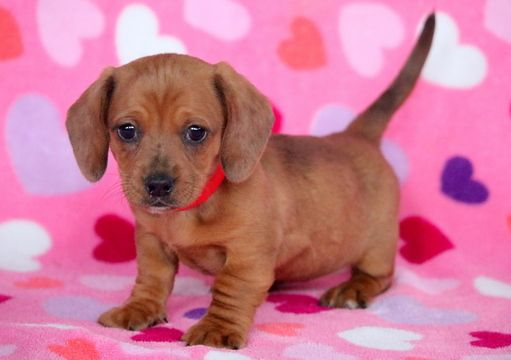 Dachshund Puppy For Sale In Mount Joy Pa Adn 61388 On