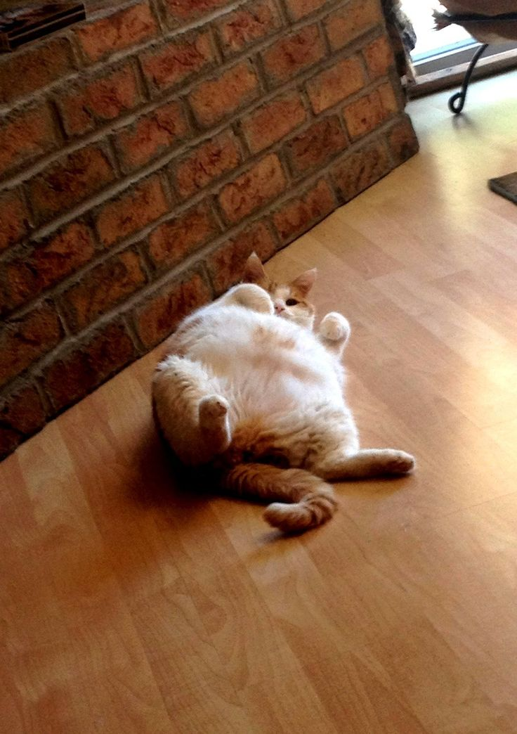 omg i miss my old kitty Monkey sooo much! he was a white orangish himalayan and he was the cutest! he used to lay down in the middle of the house like this all the time! we miss you monkey