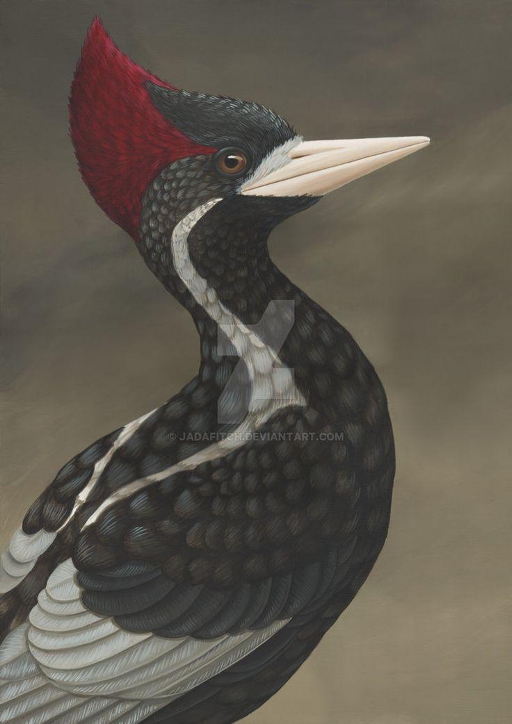 ivory billed woodpecker campephilus principalis male