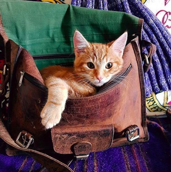 This cat is loving our distressed leather satchel #cat #leather #style