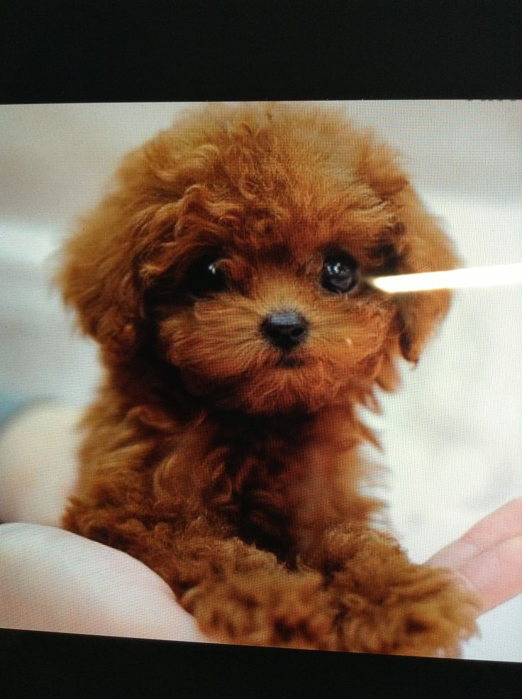 Red Teacup Poodle Puppy Royal teacup puppies...love