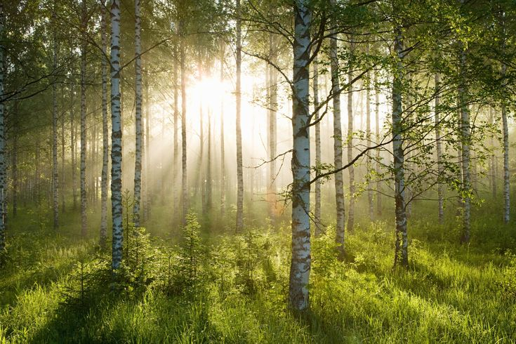 Birch Forest Sunlight Wall Mural Wallpaper ~ (Prices vary with size) at wallsauce.com