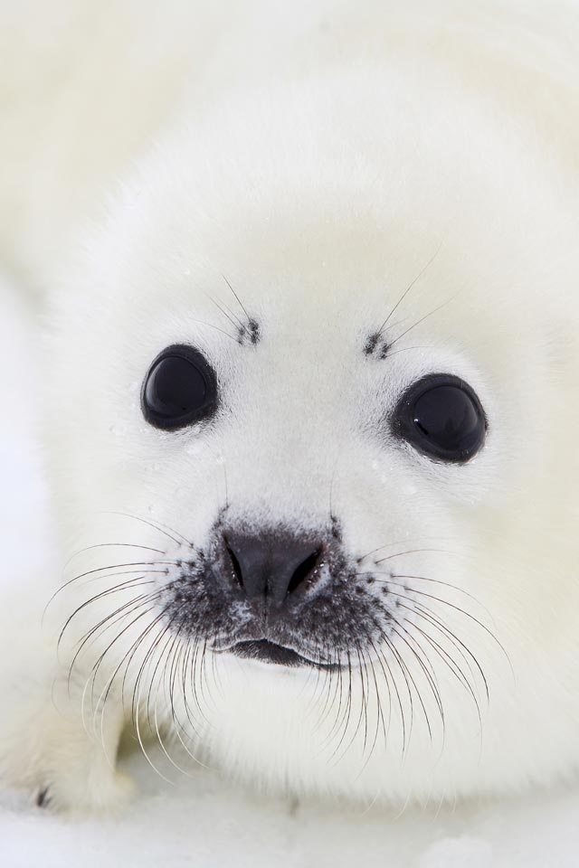 Baby White Fluffy Seal Animals Pinterest Seals