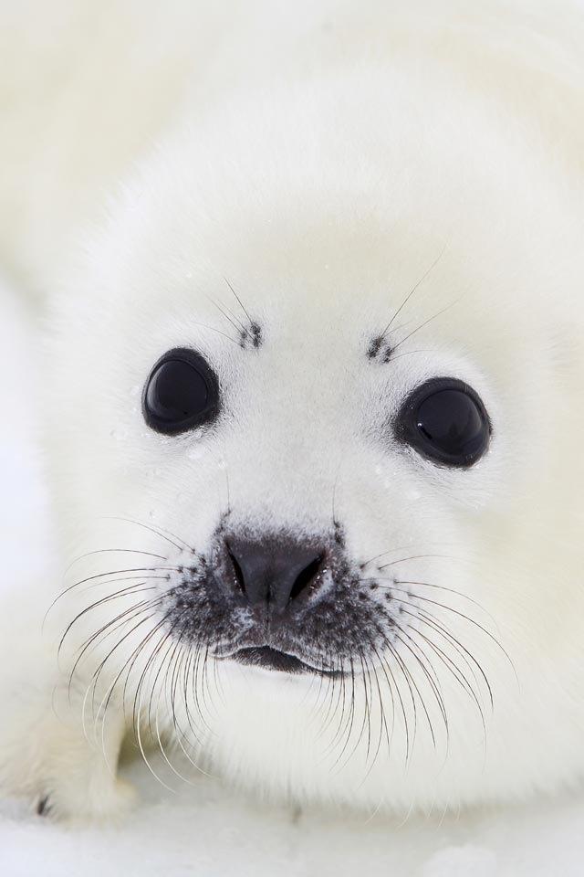 Baby white fluffy seal   Animals   Pinterest   Seals ...
