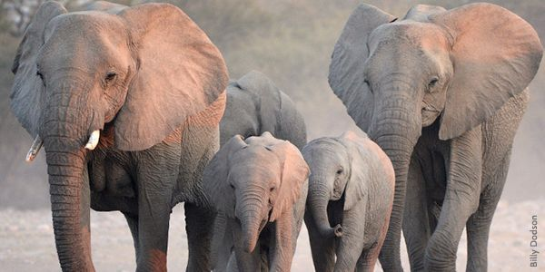 Justice for Satao and the other elephants in Kenya: Stop the Illegal Ivory Trade