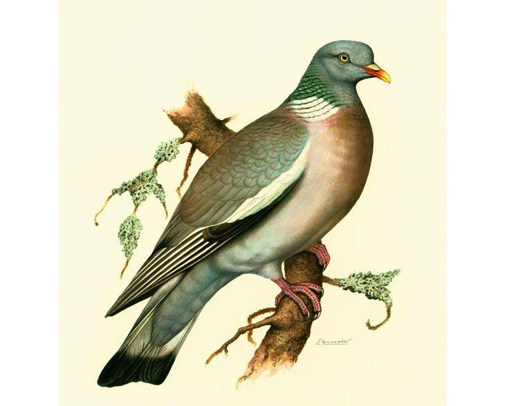 1969 Pigeon Ramier Palombe Colomba palumbus illustration oiseau ornithologie vintage decor mural de la boutique sofrenchvintage sur Etsy