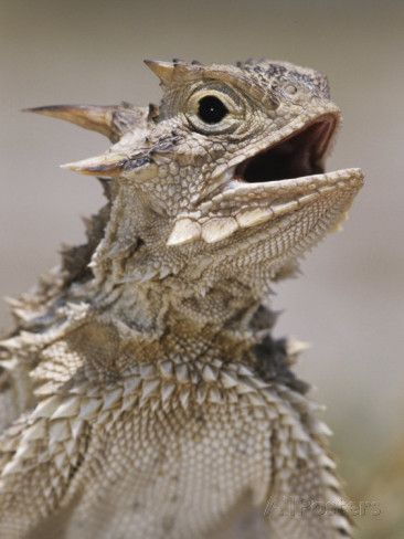 Texas Horned Lizard, Rio Grande Valley, Texas, USA Photographic ...