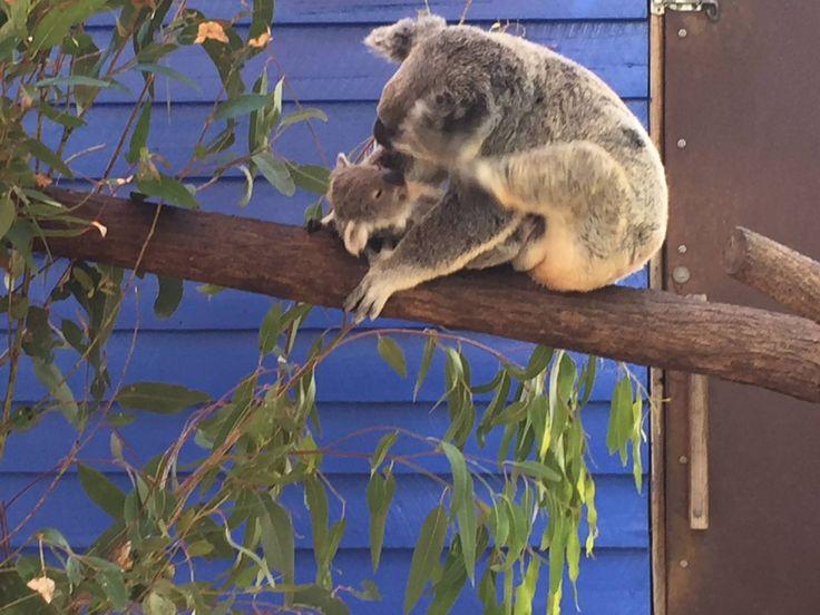 #Koala Bear #Australia