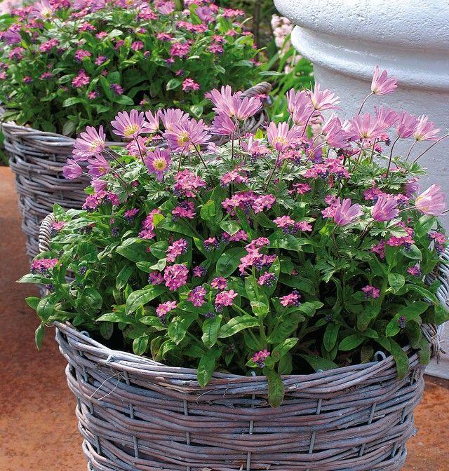 les 25 meilleures id es concernant myosotis sur pinterest plantes d 39 ombre de jardin petit. Black Bedroom Furniture Sets. Home Design Ideas