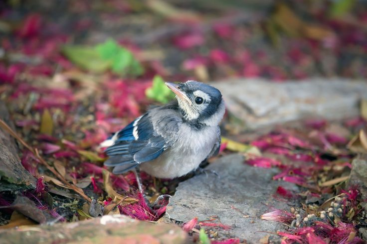 baby jay | Blue Bird of Happiness | Pinterest