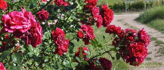 Rosen schneiden im Frühjahr...