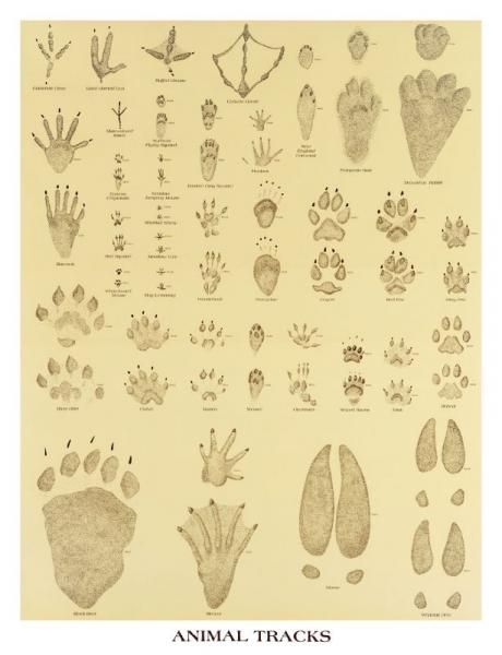 25 best ideas about animal tracks on pinterest which
