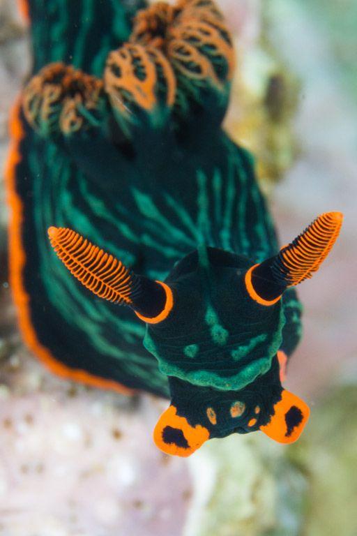 Nudibranch   por maractwin
