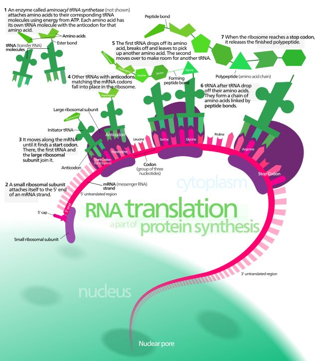 Protein synthesis - Translation (biology) - Wikipedia, the free encyclopedia