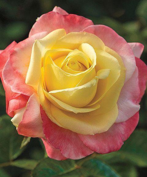 Best 25+ Hybrid Tea Roses Ideas On Pinterest