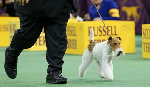 61 Best Images About Wire Hair Fox Terrier On Pinterest Dog Show Westminster Dog Show And
