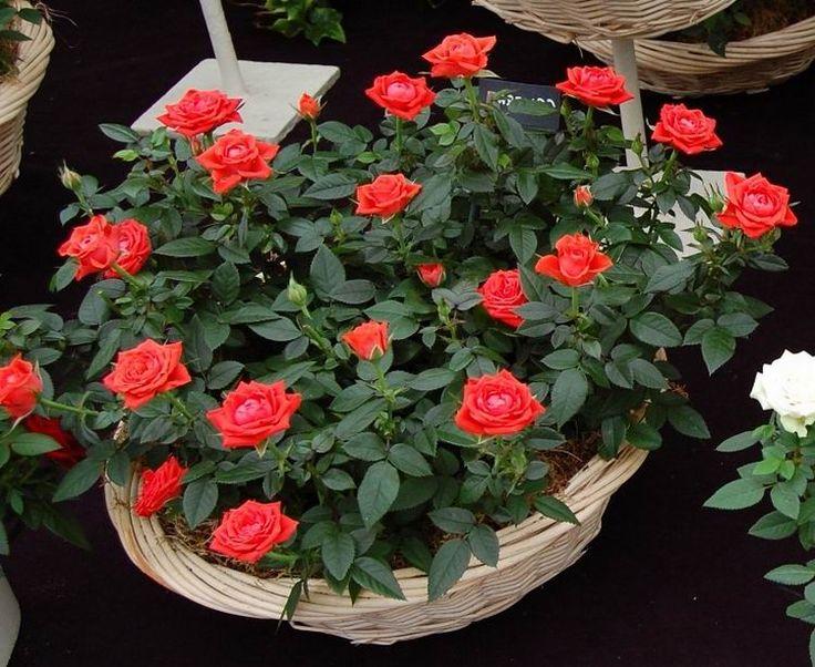 Простой рецепт приготовления раствора, использование которого помогает улучшить цветение декоративных культур.  Очень люблю выращивать цветы в своем саду. В этом году я впервые посадила гацанию и 1 р…