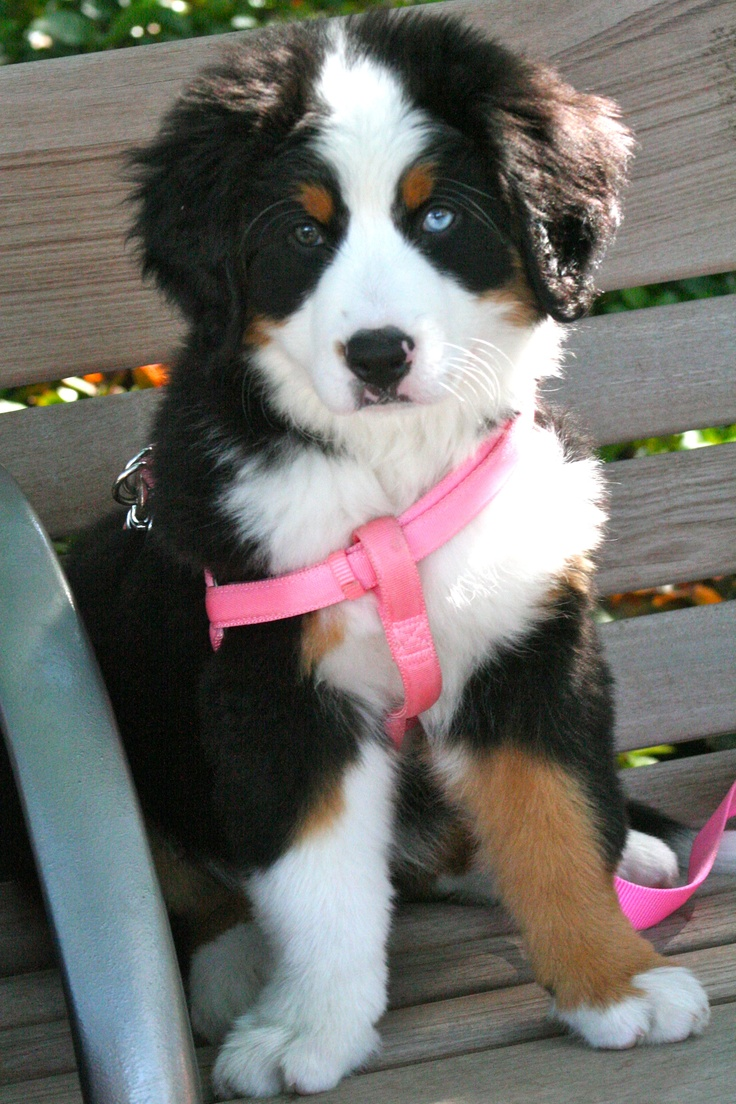 273 best dog stuff images on pinterest | bernese mountain dogs