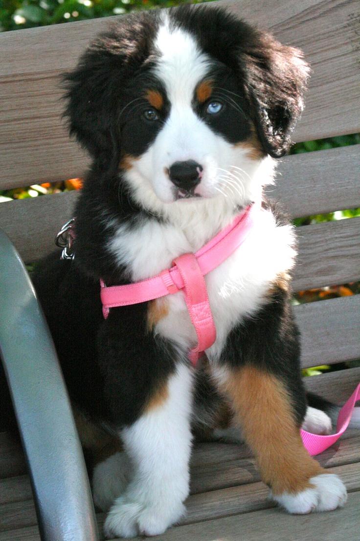 Bernese Mountain Dog!