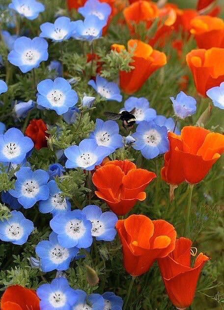 Orange and blue flowers Lauren B Montana