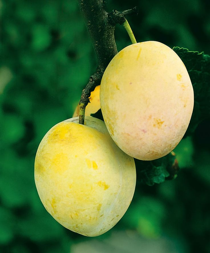 """Plum """"Reine Claude d'Oullins"""". Reine Claude d'Oullins is a yellow-colored plum with a sweet and spicy aroma. See Duo Plum Tree!"""