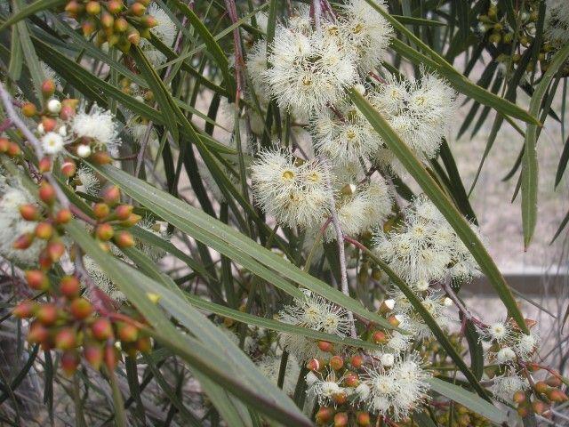Eucalyptus Winter Light Eucalyptus viridis (dwarf selection)