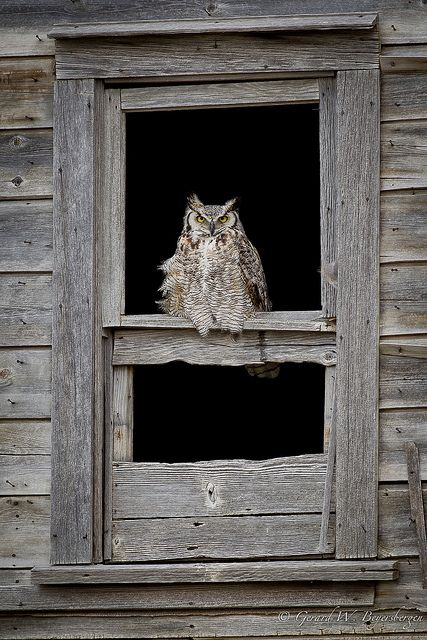 How much is that Great Horned Owl in the window