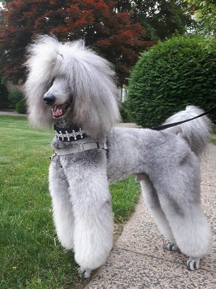 Love Poodles With Images Poodle Puppy Dog Breeds Bulldog