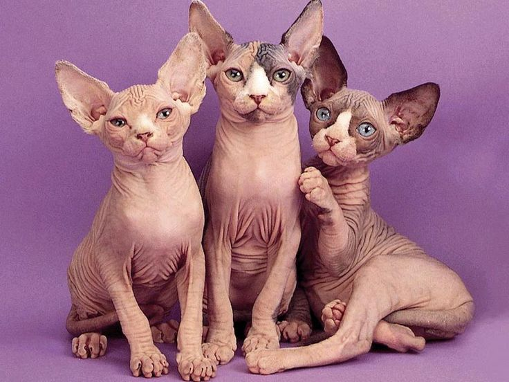 "Look At Cat Pictures - Cute, Funny, Lol Cats: - ""sphynx cats"""