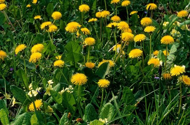 My pictures of dandelions will help you identify them. Then use my tips for their manual removal or killing them with herbicides.