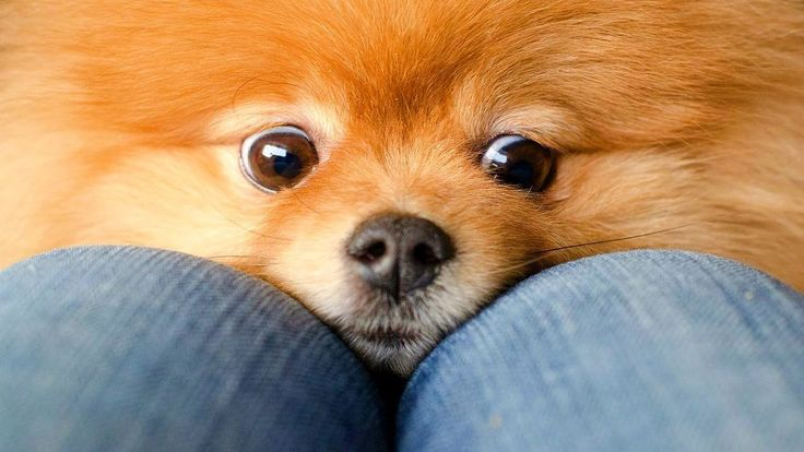 10 Funniest Pomeranian Videos
