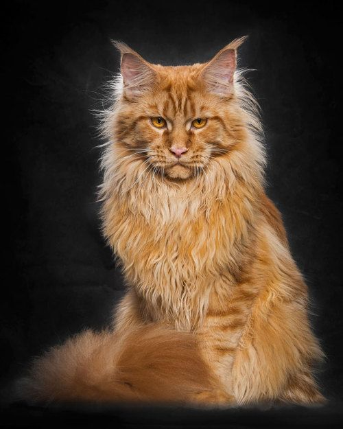 Mythical Beasts: Photographer Captures The Majestic Beauty Of Maine Coons Robert Sijka captures the mythical beauty of Maine Coons, known as the largest domesticated breed of cats in the...