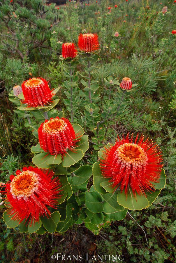 Scarlet banksia flowers, Banksia coccinea, Fitzgerald River National Park, Australia