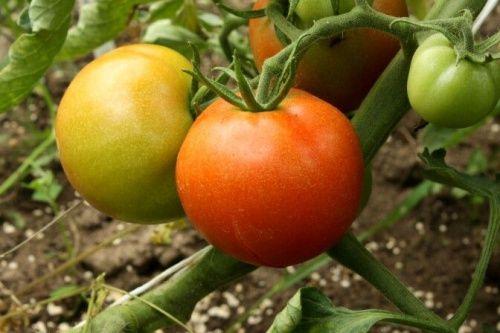 wszystko o pomidorkach