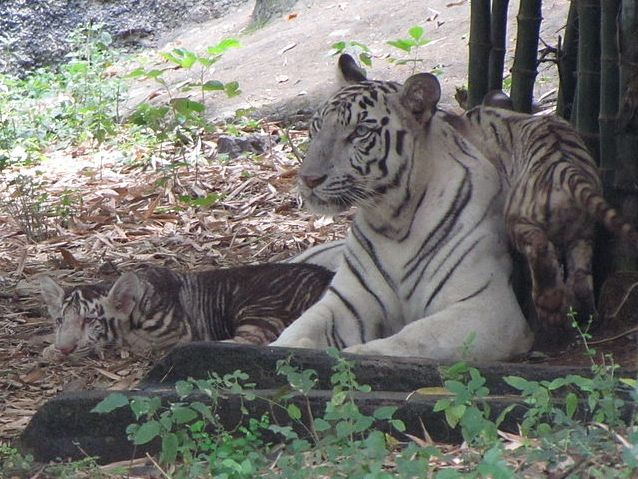 "The white tiger cub that ""changed color,"" with its mother and a normal white sibling at Arignar Anna Zoological Park, Chennai, India - photo by Fightingfalcon2005, via Wikipedia;  ""In August 2010, it was reported that one of 3 white tigers born in June ... had changed its colors, with most of its body and legs having become black. By October, the stripes on the cub changed to brown.""  ...I only see more stripes than usual, and they are closer..."