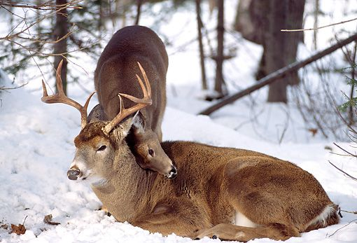 """thingswithantlers: """"  Whitetailed Deer Nuzzling by Tom & Pat Leeson/KimballStock """""""