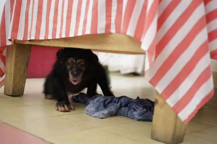"""Cuba Monos 2""""Es relativamente fácil para una persona criar un bebé chimpancé, muy similar a criar un bebé humano"""", dijo a Univision el director de comunicaciones del zoológico de Miami, Ron Magill. En la foto, Anumá a los seis meses de edad juega bajo la cama."""
