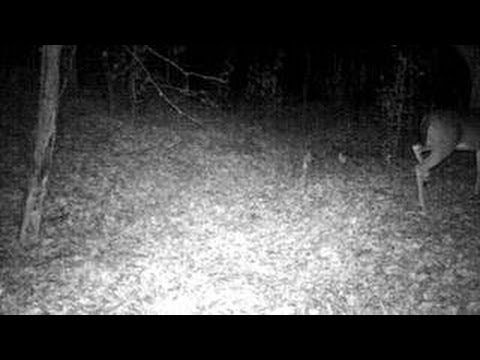 Most Compelling and Clear Bigfoot Sounds Ever Caught On Tape (Sierra Sou...