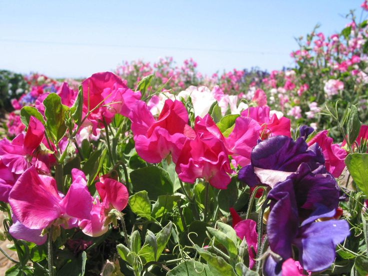 Really dwarf sweet pea, good for borders, long flowering.