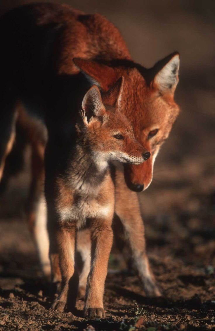 Ethiopian wolf, I think these are truly gorgeous animals. Kind of what I imagine a cross between a fox and dog