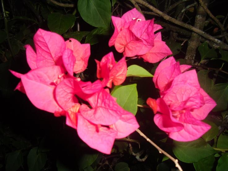Flor de veranera.