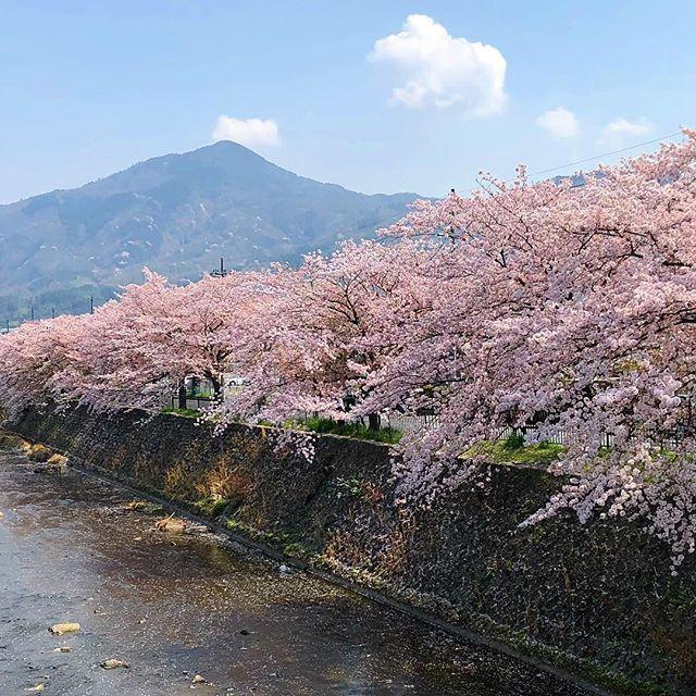 Цветущая #сакура у моста #Умабаси и гора #Хиэй #Киото #Япония www.midokoro.jp