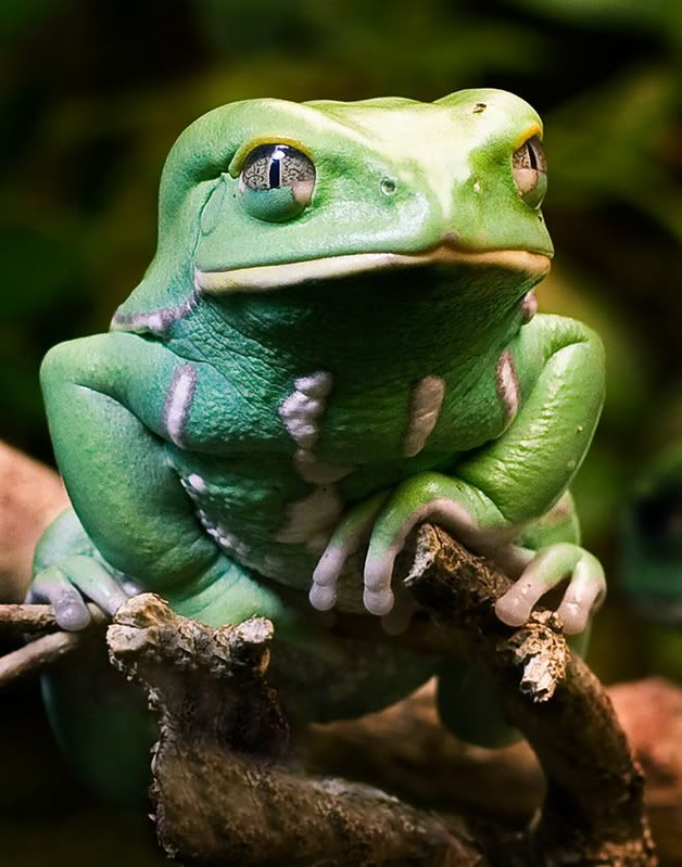 Waxy Monkey Frog - he's thinking of something.  Something... meaningful.