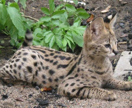 Oh my Godric! These serval cat's look almost identical to how I pictured kneazles! I need one of these as my pet if I can't have a kneazle!    Google Image Result for http://www.east-africa-safari.com/images/Serval%2520cat.jpg