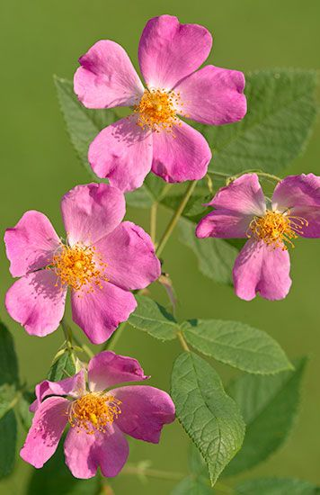Praire Rose It is found from New York and New Hampshire south to Florida, west to Texas, north to Nebraska, Iowa, Wisconsin, and Ontario.
