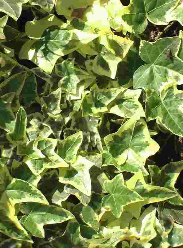 Growing Amp Caring For English Ivy To Cover Chain Link